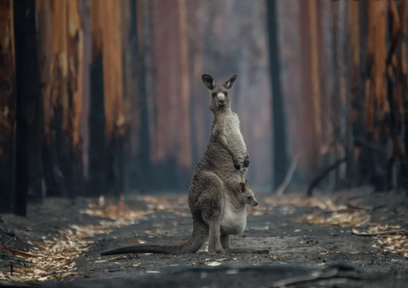Kangaroo stands with her joey in fire -ravaged bush